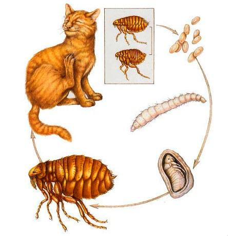mersin sgs kedi pire ilaçlama yaşam döngüsü