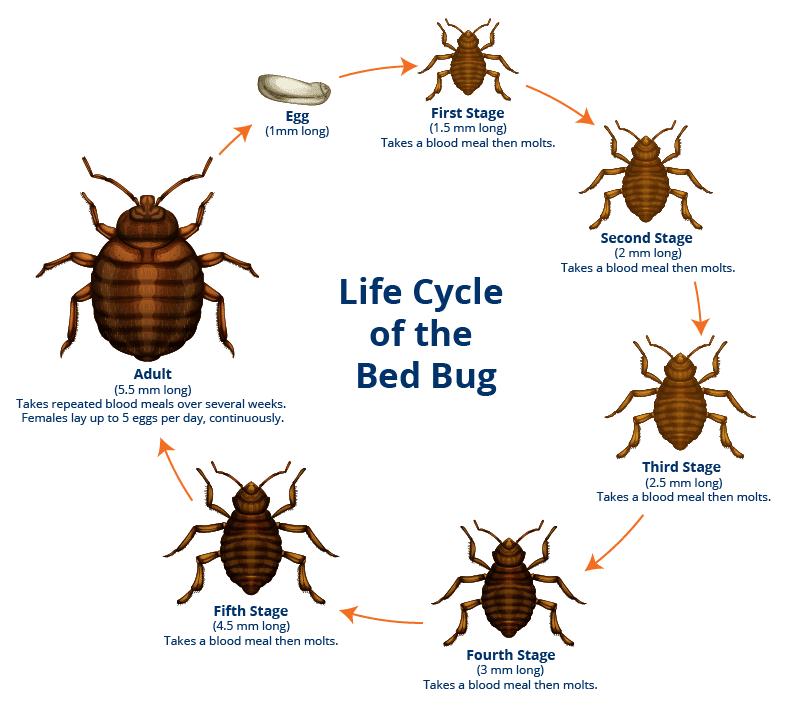 tahtakurusu yatak böceği yaşam döngüsü