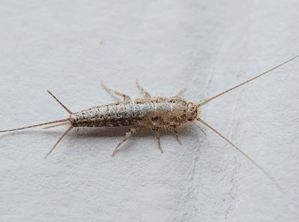 mersin gümüş böceği ilaçlama